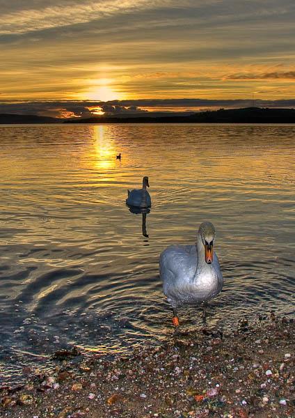 helensburgh-swans