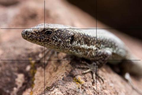 Madeiran Wall Lizard